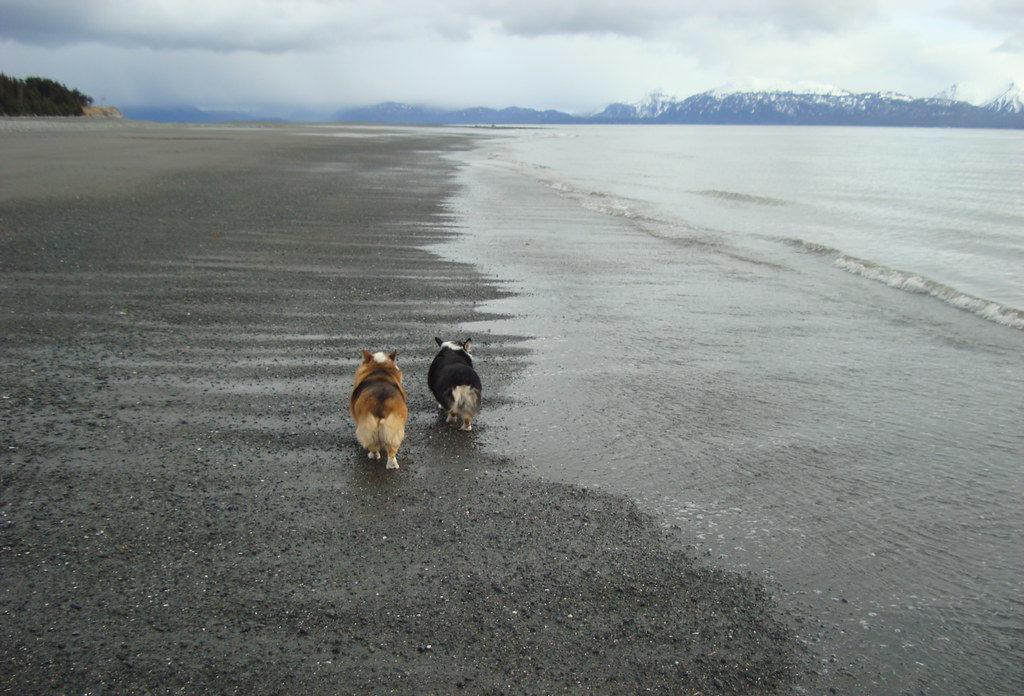 попки корги на пляжу